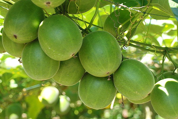 ¿Qué es el Luo Han Guo o fruto del monje?